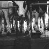 Les vaches de la mancellière
